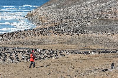 Adelie Penguin Colony - Devil Island