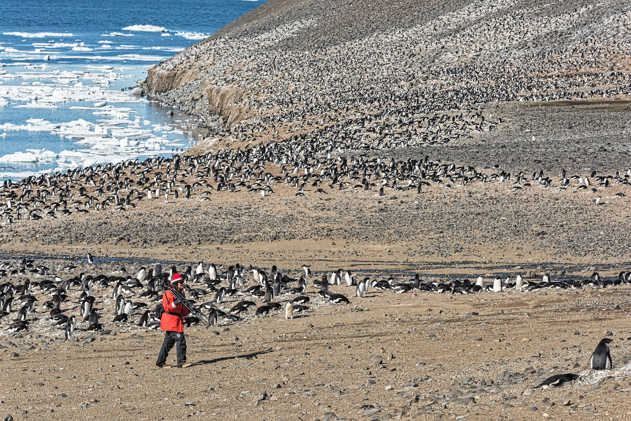 Adelie Penguin Colony - Devil Island