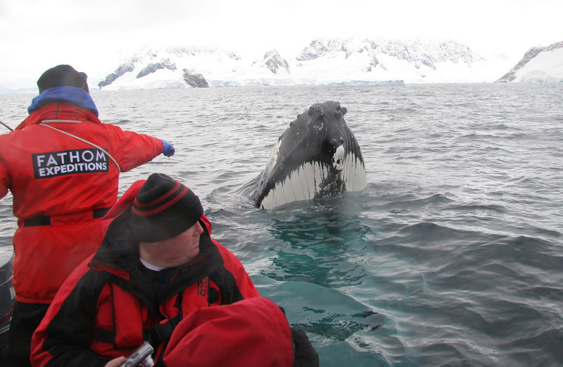 A humpback whale does some spyhopping, in Wilhemena Bay