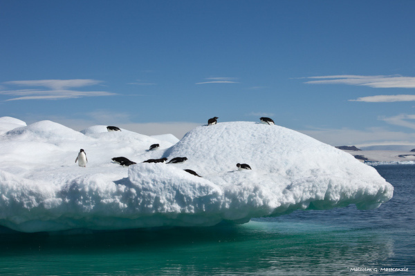 Adellies Penguins play, Devil island, Antarctica