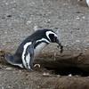 Magellenic Penguin