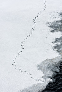 Penguin Tracks