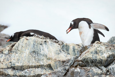 Gentoo Penguin brings back a rock for the nest.  They spend a lot of time doing this.  And they are very particular about their rocks
