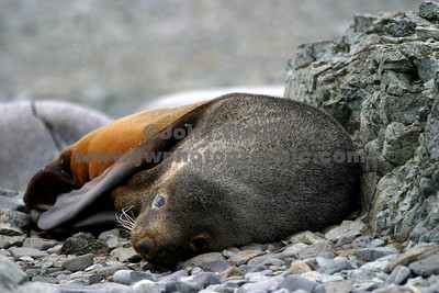 fur seal half moon 2_1