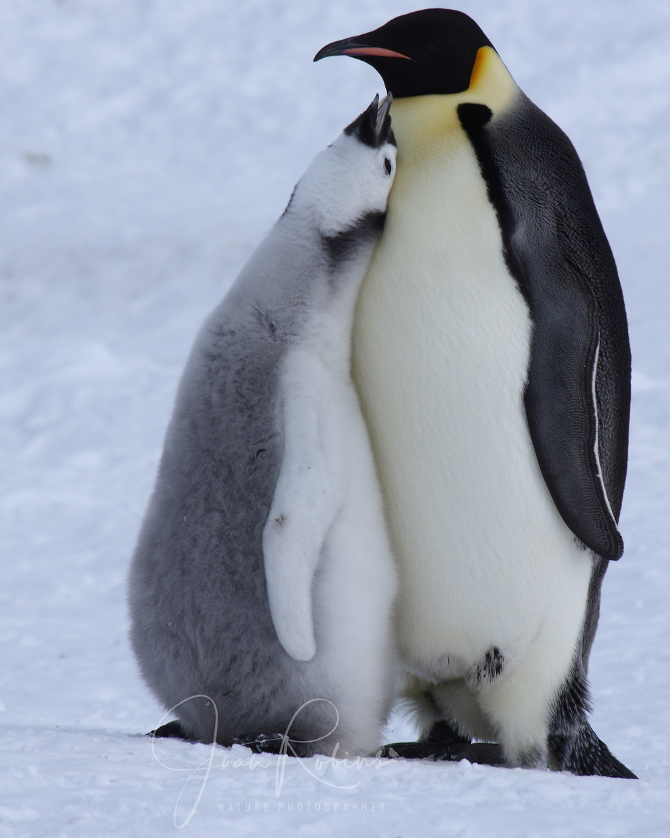 Emperor Penguin chick and parent, Snow Hill, Antarctica, 2007