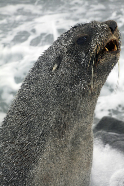 To Taunt with Teeth - Antarctica