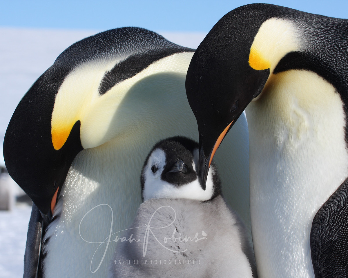 Emperor family, Snow Hill, Antarctica, 2007