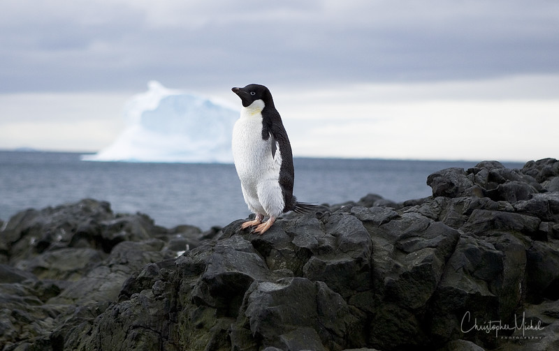 A lone Adelie on Brown Bluff Adelie penguins were named after the wife of a French explorer in the 1830s.