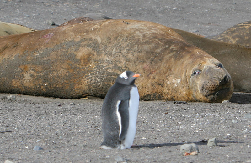 An elephant seal watches a gentoo penguin walking by... and perhaps wonders if it's time for lunch.