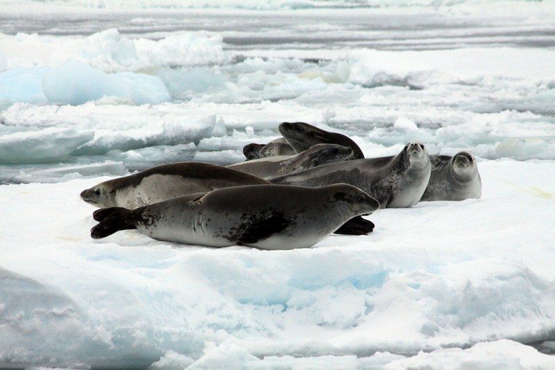 Seals Abound - Antarctica