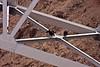 California Condors on a bridge over the Colorado River.<br /> <br /> Photo by Deb