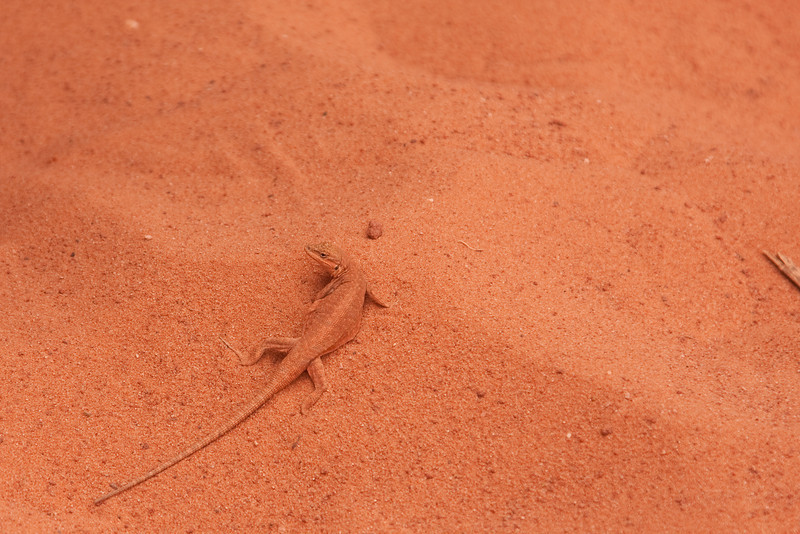 Upper Antelope Canyon, near Page, Arizona. This lizard was almost exactly the same color as the red sand.<br /> <br /> Photo by Dennis
