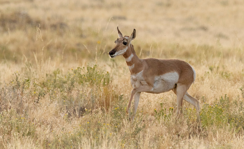 Antelope Island, Utah Pronghorn Antelope fawn1 August 21, 2016