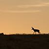 Antelope Island, Utah skyline Pronghorn Antelope male2 August 21, 2016