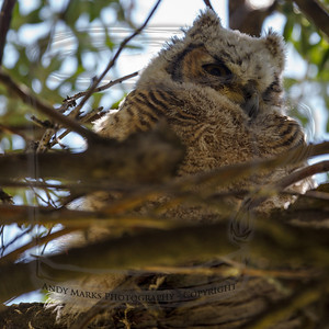 One of two Great Horned Owl chicks hiding in the woods on Antelope Island.