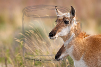 Female Pronghorn Antelope near the Buffalo Coral, Antelope Island, UT