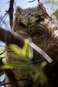 "Young Great Horned Owl, out of its nest, resting in a congested tree, and with a few of its feathers blown in its face. Notice how this owl has the ""ear tufts"" and its eyes are surrounded by brown (and down). The chick in the barn looks like a frightened accountant by comparison, with dark eye glasses and a featureless fluffy white head."