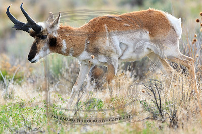 Pronghorn Antelope buck, leading a group near the bay barn.