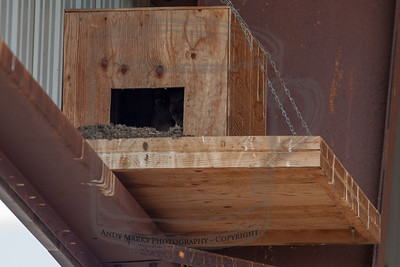 A box with barn owls in the same hay barn as the Great Horned Owls..