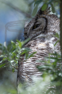 Great Horned owl at the ranch.