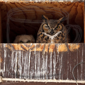 The female Great Horned  owl, and at least one excited chick, resting in their box by the buffalo coral.