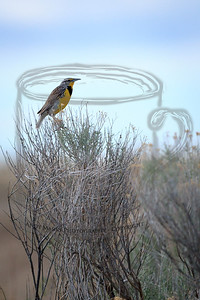 A meadow lark, singing in the top of a sage brush. My wife and I grew up with these singing in the fields behind our houses. Now we have to travel to Antelope Island to hear their once familiar song.