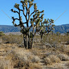 Joshua trees in the Antelope Valley, California.