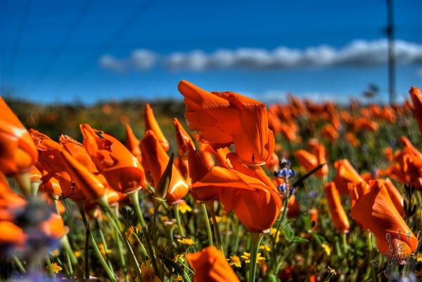 Antelope Valley Poppy Reserve, Ca