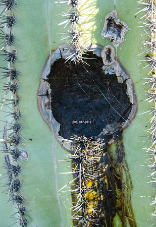 wounded cactus 5215