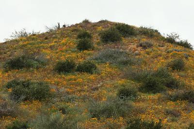 buttercup hill cvck 6847