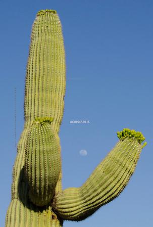 Moon in cactus 5255