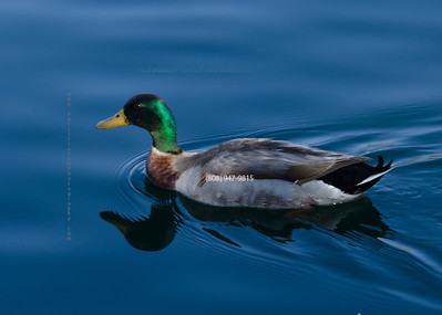 Duck swimming 5163