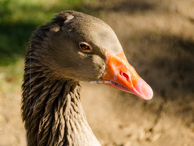 brown goose head 5128