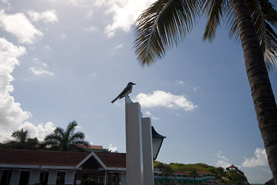 Tropical Kingbiird