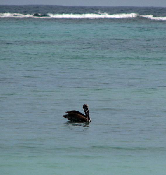 A naughty, naughty pelican.