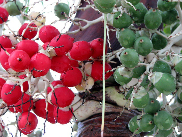 The palm had red and green berries, as you can see.