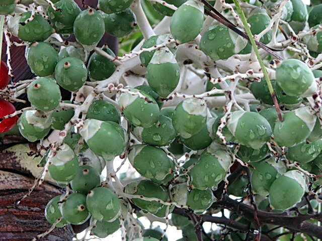 Green berries.