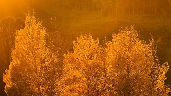 golden hour_Aspen trees 9993
