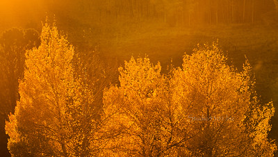 golden hour_Aspen trees 9993