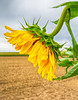 Sunflower side 8199cf DEx 11 x 14 2