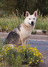 stray dog husky 8459