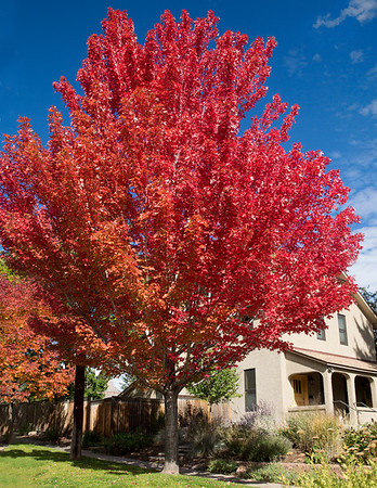 Red maple tree CO 1602
