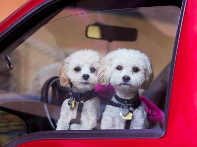 Doggies_car window 7673