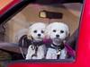 Doggies_car window 7673
