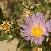 Orcutt's Aster
