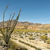 Ocotillo in the Foreground and Brittlebush in the background