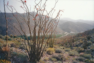 4/9/95 Ocotillo (Fouquieria splendens). Cactus Loop Trail across from Tamarisk Grove Campground.