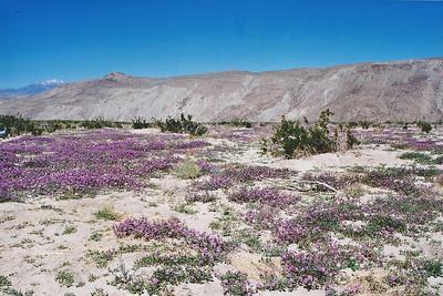 3/7/04 Desert Sand Verbena (Abronia villosa) carpeting Coyote Canyon. Anza Borrego Desert State Park, E. San Diego County, CA