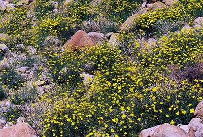 2/27/05 Parish's Poppies (Eschscholzia parishii). Hills above Nude Wash. California Native Plant Society (Riverside-San Bernardino Chapter) field trip. Anza Borrego Desert State Park, San Diego & Imperial Counties, CA
