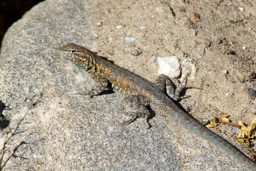 Common side-blotched lizard (Uta stansburiana)